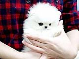 Os filhotes de cachorro do brinquedo de pomeranian estao prontos {millyharts0018@gmail.com}