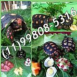 Tartaruga terrestre a pronta entrega