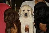 Labrador retriver lindos e inteligentes