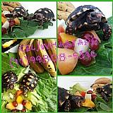 Tartaruga terrestre - jabuti filhotes,  jovens ou adultos