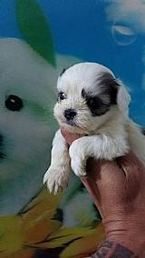 Poodle toy/ lhasa-apso/ fox paulistinha filhotes disponiveis (canil enchantress)