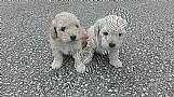 Filhotes de poodle miniatura