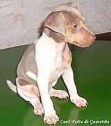 Terrier brasileiro (fox paulistinha) - machos tricolor de azul e tricolor de preto!