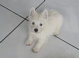 West highland w.terrier - moonspark