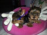 Filhote yorkshire terrier femea