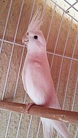 Calopsita albina - macho
