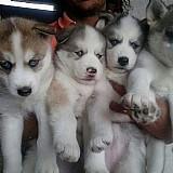 Husky siberiano,  filhotes,  caes,  com pedigree e garantias