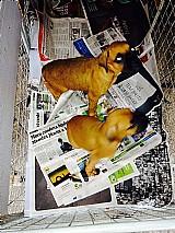 Boxer,  filhotes,  caes,  com pedigree e garantias