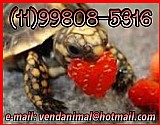 Jabutipiranga - tartaruga de terra(11)99808-5316