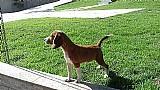Filhotes de beagle a venda