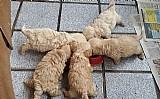 Poodle toy filhotes machos e femeas