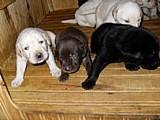 Labrador,   amarelo,   chocolate,   preto.