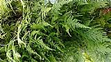 Mudas de bambus para fazer bonsai