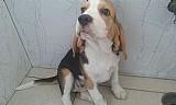 Beagle lindos e amaveis