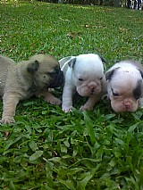 Bulldog ingles lindos