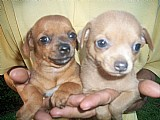 Chihuahua alegres e com pedigree