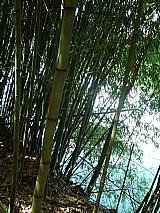 Bambu cana da india (phyllostachys aurea) in   natura