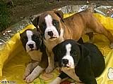 Boxer lindos e alegres filhotes