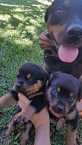 Rottweiler lindos filhotes rj