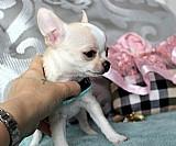 Chihuahua para a adopcao