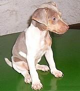 Terrier brasileiro machos disponiveis