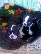 Boston terrier lindos e amaveis