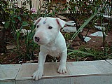 Bull terrier alegres e vacinados