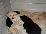 Labrador,  amarelo,  preto.