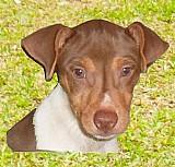 Terrier brasileiro machos