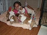 Bulldog ingles cachorros para adocao