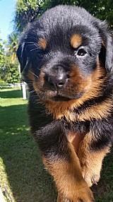 Rottweiler - controle de displasia dos pais - seropedica rj