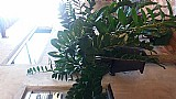 Planta zamelcuca e bamteira branca