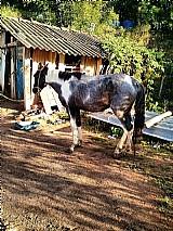 Mulas baias castanha, cavalo pampa charrete