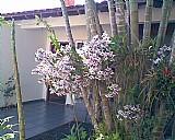 Kasaverde valeverde - mudas de orquideas - mudas comuns - orquideakasagarden