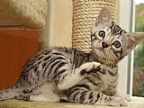 Gatinhos de bengala para adocao
