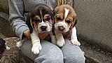 Filhotes de beagle legitimos