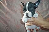 Vendo filhotes de bulldog francês