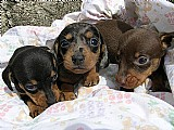 Vendo filhotes de dachshund