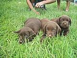 Vendo filhotes de labrador chocolate