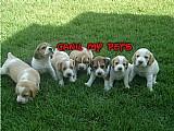 Filhotes de mini beagle em 12x no cartao- canil my pets