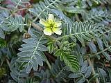 200 sementes de tribulus terrestris