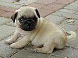 Filhote de pug ( com pedigree )