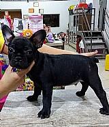 Vende-se filhote de bulldog frances com 70 dias ja vacinado sendo pai e mae com pedigree 2 macho e 2 femia