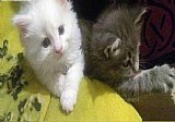 Dois gatinhos maine coon