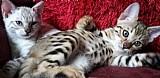 2017 exoticos serval ,  savana e gatinhos caracal.