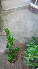 Mudas de plantas cruzia