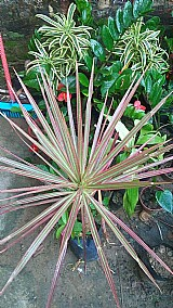 Semente dracena tricolor