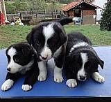 Filhote de border collie fofinhos
