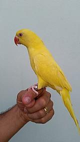 Ring neck rosela lindas aves pet estimacao carinhosas anilhados e controlados direto criador