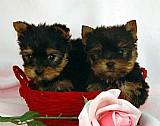 Yorkshire filhotes 21989135703